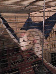 Schmuse-Ratten Betty und Wilma