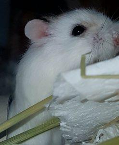 Roborowski-Hamster Susi